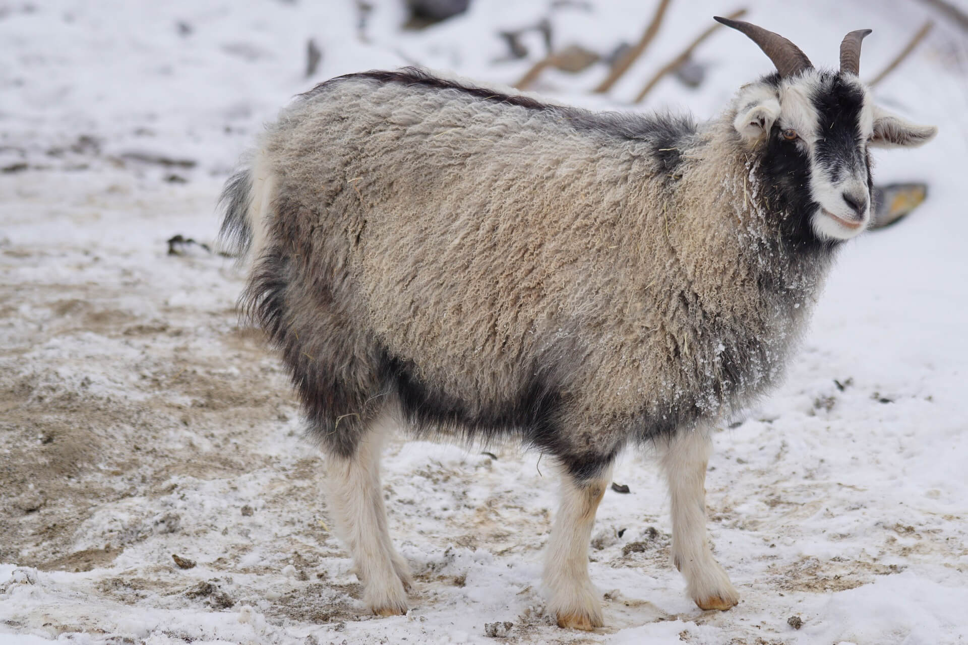 Cashmere goat is rare, so that's why cashmere is so expensive